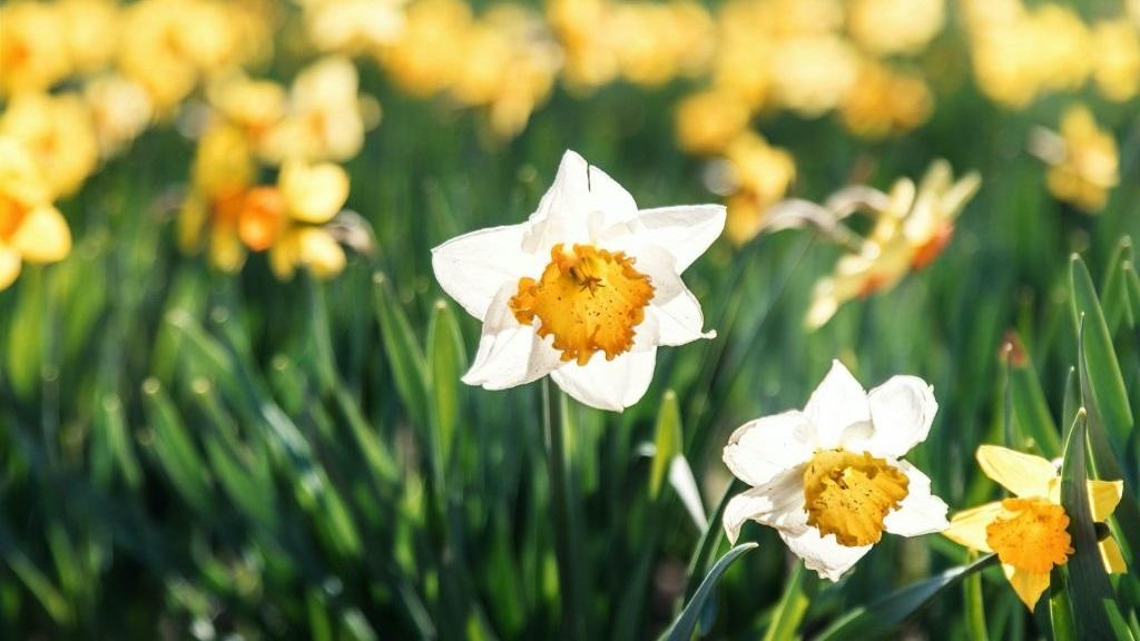 Daffodil Bulb Planting at Elm Street Park image